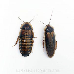 Dubia Roaches Malaysia