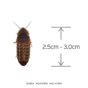 3cm Juvie Dubia Roaches