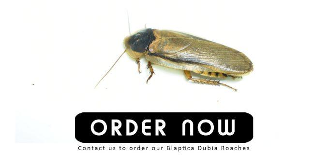 Blaptica Dubia Roach Malaysia
